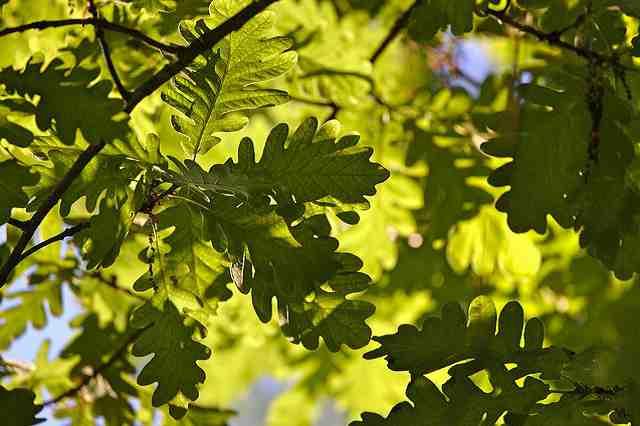 Dubová kůra a její léčivé účinky na naše zdraví