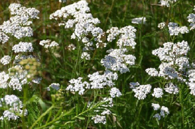 Léčivé bylinky na hemeroidy