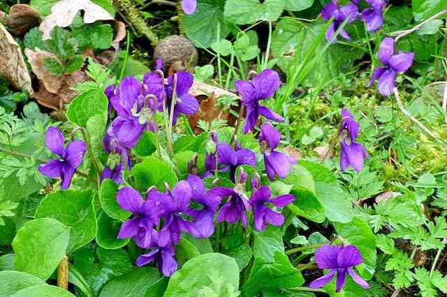Violka vonná - fialka a její léčivé účinky