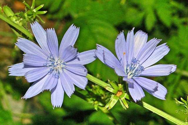 Inulin a jeho zdroje v rostlinách