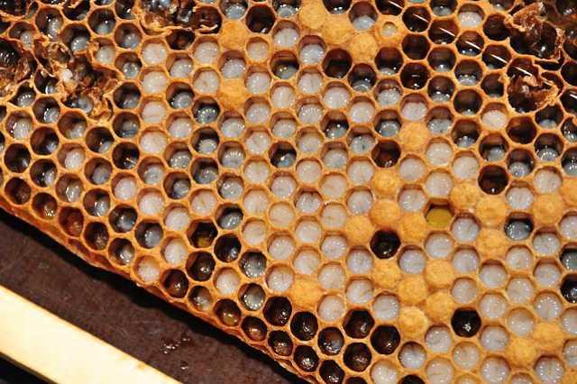 Včelí mateří kašička a její účinky na naše zdraví