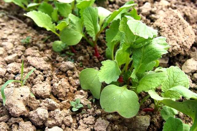 Pěstování ředkviček