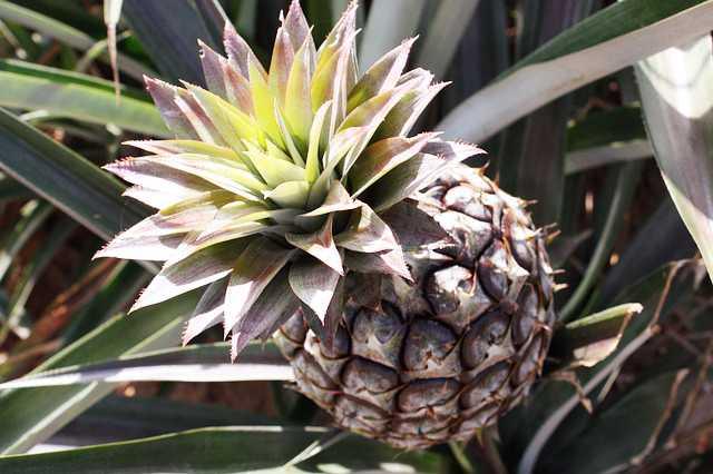 Pěstování ananasu