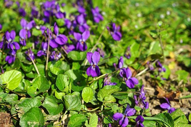 Pěstování violky vonné (fialky)
