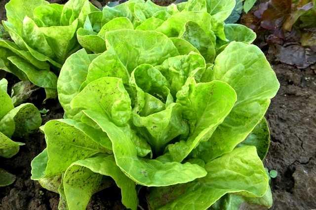 Pěstování hlávkového salátu