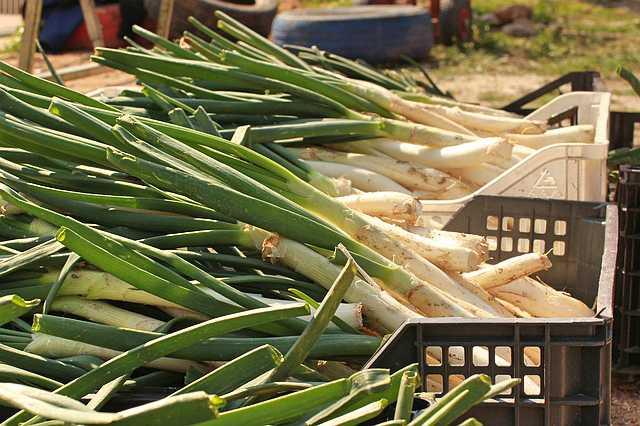 Pěstování pórku, výsev a sklizeň - pór letní a zimní