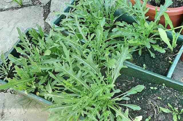 Pěstování rukoly na zahradě a v květináči