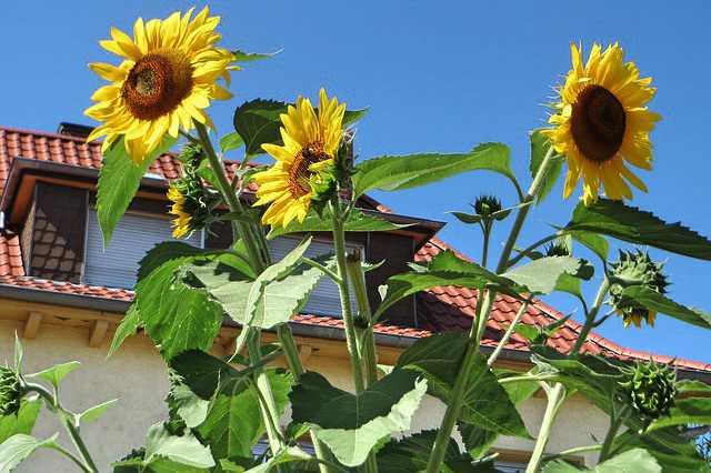 Pěstování slunečnice na zahradě a v květináči