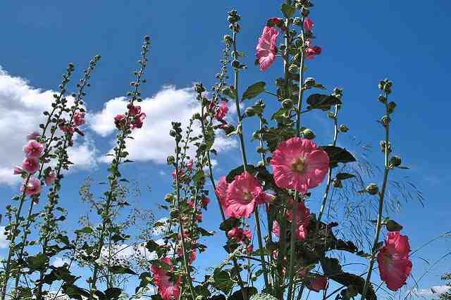 Pěstování topolovky růžové