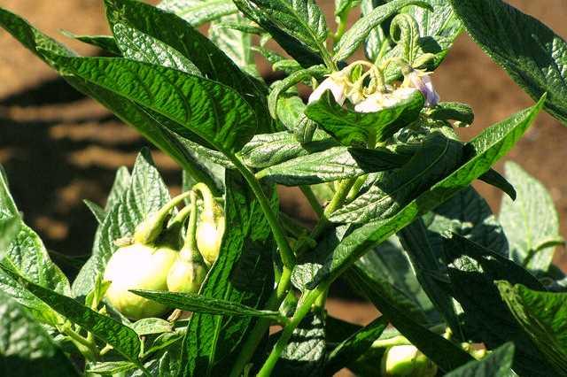 Pepino Gold a jeho pěstování