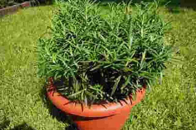 Jak pěstovat rozmarýn v květináči za oknem
