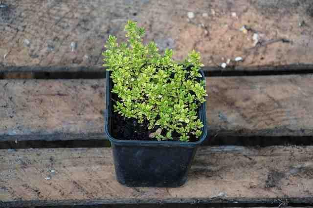 Pěstování tymiánu v květináči návod