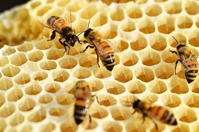 Včelí tmel neboli propolis a jeho léčivé účinky