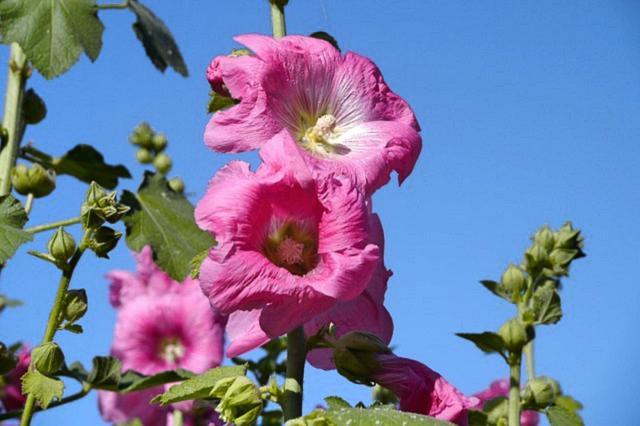 Topolovka růžová a její léčivé účinky na naše zdraví