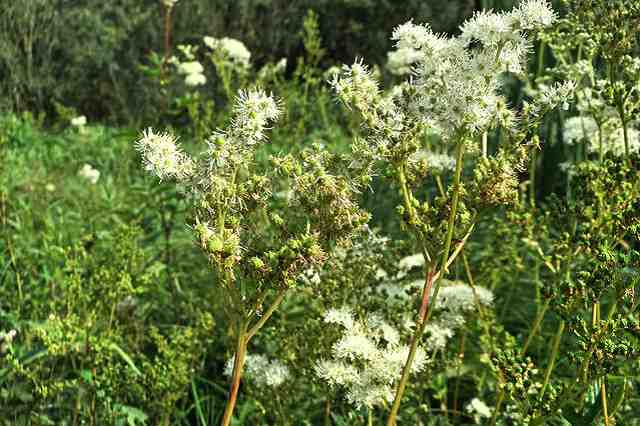 Čaj z květů tužebníku jilmového recept
